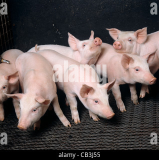 Large white piglet weaners in flat bed sties, Dorset - Stock Photo