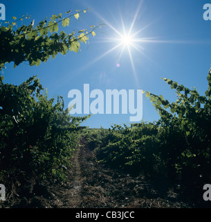 Looking into the rising sun in a Chianti vineyard near Siena, Tuscany, Italy - Stock Photo