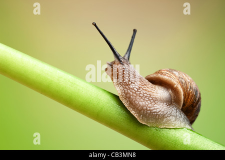 Common garden snail crawling on green stem of plant - Stock Photo