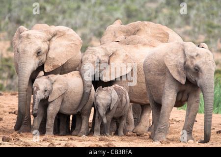 Elephant breeding herd, Loxodonta africana, Addo Elephant National Park, Eastern Cape, South Africa - Stock Photo