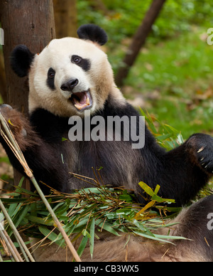 Giant Panda, Ailuropoda melanoleuca Panda Breeding and research centre, Chengdu PRC, People's Republic of China, - Stock Photo