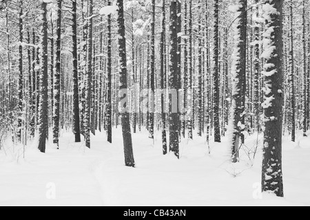 A dense collection of bare tree trunks in a snowy forest in winter Helsinki, Finland - Stock Photo