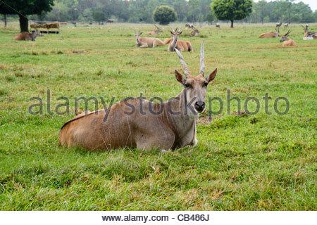 West Palm Beach Florida Loxahatchee Lion Country Safari drive-through wild animals African eland taurotragus oryx - Stock Photo
