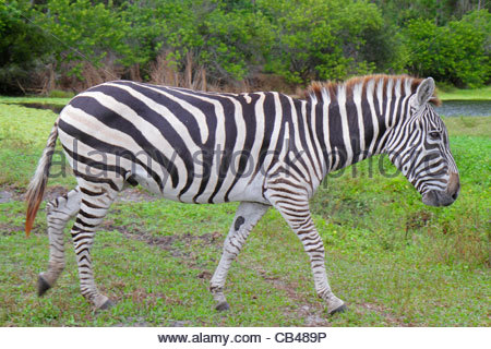 West Palm Beach Florida Loxahatchee Lion Country Safari drive-through wild animals African Grant's zebra equus burchelli - Stock Photo