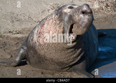 Northern Elephant Seal Mirounga angustirostris bull Piedras Blancas California USA - Stock Photo