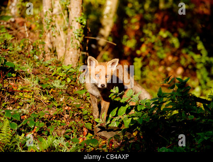a wild baby fox in woodland in Devon - Stock Photo