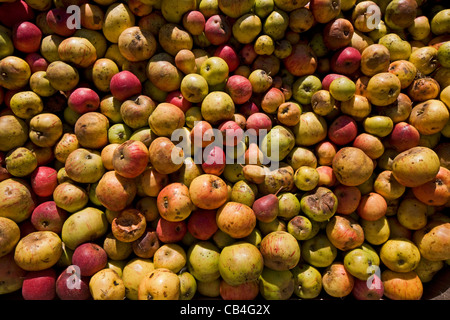 Pile of harvested fallen apples from orchard for the production of fruit juice, Hesbaye, Belgium - Stock Photo
