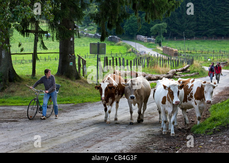 Walkers and farmer with bicycle herds cattle along road from field to farm in the Ardennes, Belgium - Stock Photo