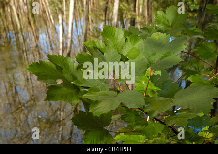 Sycamore maple (Acer pseudoplatanus) Stock Photo