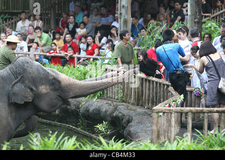 Girl feeding elephants a banana at the Singapore zoo - Stock Photo