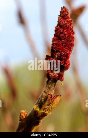 Sumac flower - Stock Photo