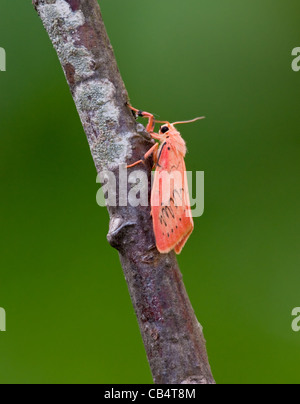 Rosy Footman - Stock Photo