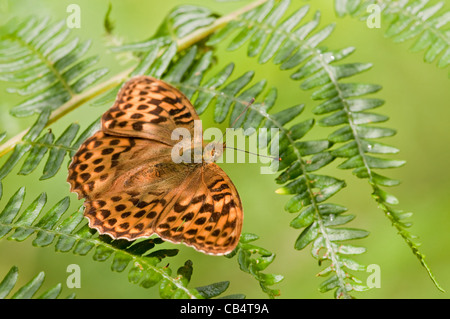 Silver-washed Fritillary - Stock Photo