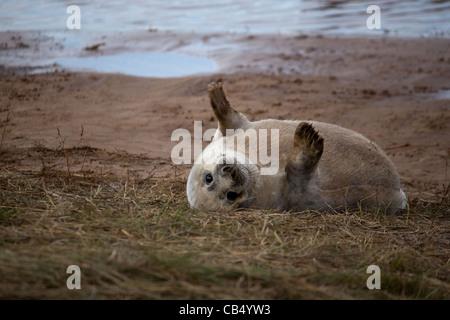 Seal pup waving - Stock Photo