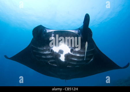 Manta ray missing a cephalic fin, Manta birostris, Raja Ampat, West Papua, Indonesia, Pacific Ocean - Stock Photo