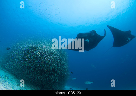 Two manta rays, Manta birostris, hover over a cleaning station covered in baitfish, Raja Ampat, West Papua, Indonesia, - Stock Photo