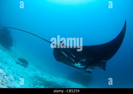A black Manta ray, Manta birostris, Manta Sandy, Dampier Strait, Raja Ampat, West Papua, Indonesia, Pacific Ocean - Stock Photo