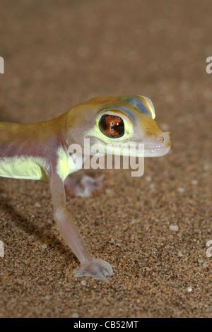 Pachydactylus rangei, Palmato Gecko, Web-footed Gecko, Namibia - Stock Photo