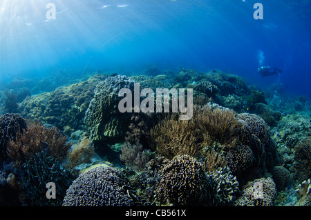 Hard coral garden with a variety of table, leather, and staghorn corals, Acropora sp., Porites sp., Litophyton sp., - Stock Photo
