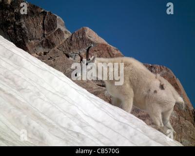 Rocky Mountain Goat Oreamnos americanus Absaroka-Beartooth Wilderness Montana USA - Stock Photo