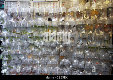 tropical fish on sale in individual plastic bags at the goldfish market goldfish street mong kok district kowloon - Stock Photo