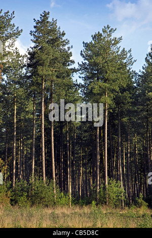 European black pine (Pinus nigra) trees in forest, Belgium - Stock Photo