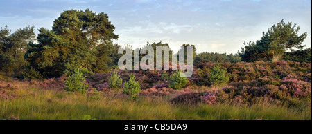 The nature park De Zoom - Kalmthoutse Heide with heather blooming in summer, Belgium / the Netherlands - Stock Photo