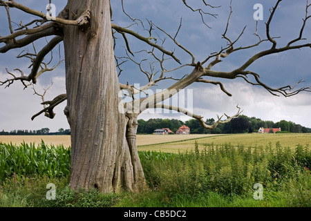 Creepy trunk and branches of dead sweet chestnut / marron tree (Castanea sativa) in field - Stock Photo