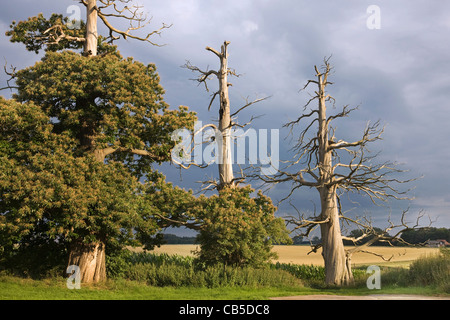 Creepy trunks and branches of dead sweet chestnut / Marron tree (Castanea sativa) in field - Stock Photo