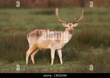 Fallow Deer Stag - Stock Photo