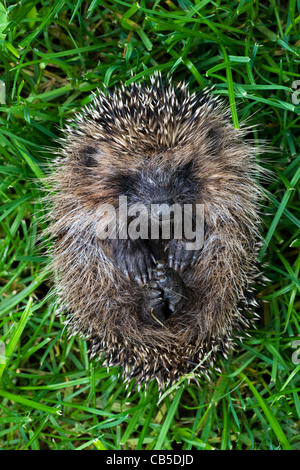 Curled up Common European hedgehog (Erinaceus europaeus), Belgium - Stock Photo