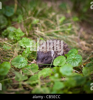 Baby European Hedgehog (Erinaceus europaeus) in grass - Stock Photo
