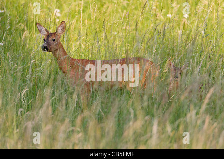 Roe Deer (Capreolus capreolus), with fawn in grass wilderness, Lower Saxony, Germany - Stock Photo