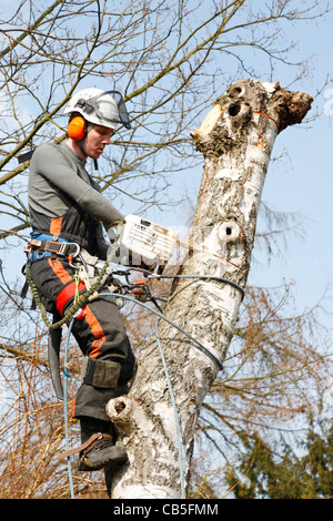 Young Danish forester in full timber felling gear felling a tall silver birch tree with his power chain saw in Denmark, - Stock Photo