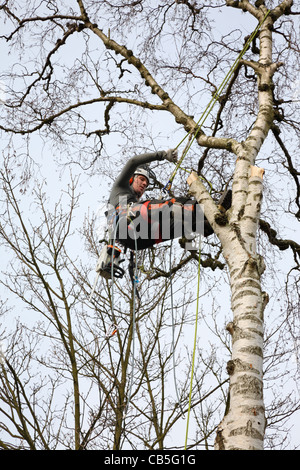 Young Danish forester hanging in his ropes in full timber felling gear felling a tall birch tree in Denmark, Scandinavia - Stock Photo
