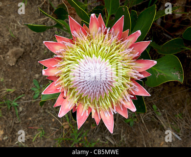 The King or Giant Protea, South Africa's national flower. - Stock Photo