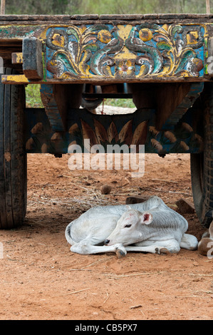 Young Indian Zebu calf under a bullock cart in a rural Indian village. Andhra Pradesh, India - Stock Photo