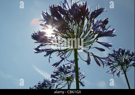 Looking up through wild flowers into a blue summer sky with the sun and lens flares - Stock Photo