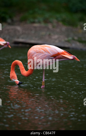 Caribbean, Rosy, American or Greater Flamingo (Phoenicopterus ruber ruber). Feeding from water surface, standing - Stock Photo