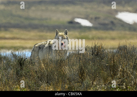 Gray Wolf Staring into the Camera - Stock Photo