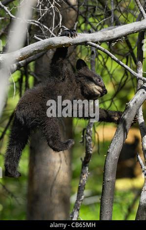 Bear cub gymnastics - Stock Photo