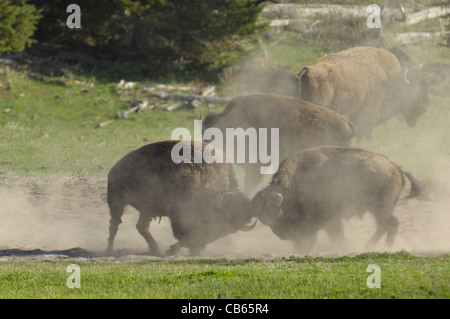 Buffalo Bull Fight - Stock Photo