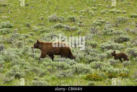Cinnamon-colored Black Bear Mother with her cub. - Stock Photo