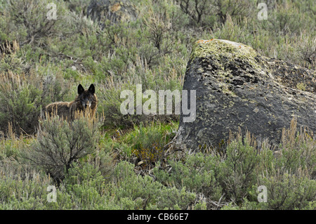Black wolf in the environment - Stock Photo