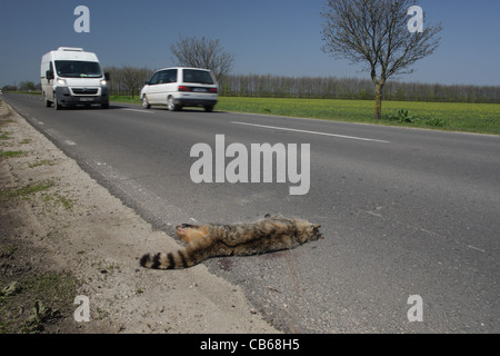 Dead wildcat (European wild cat - Felis silvestris)  killed by a car. Lying on the road. Bulgaria - Stock Photo