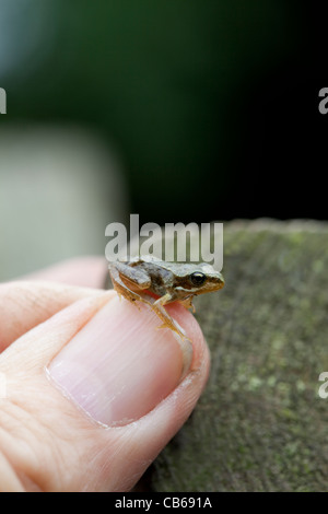Common Frog (Rana temporaria). Recently metamorphosed 'froglet', on a human thumb. - Stock Photo