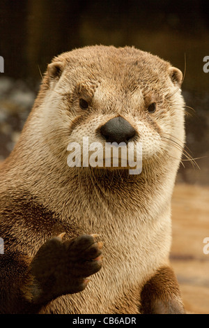 North American River Otter (Lontra canadensis). Portrait. - Stock Photo