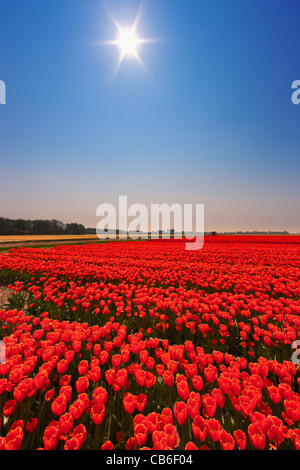 Dutch bulb and flowers fields during the spring in the Netherlands - Stock Photo