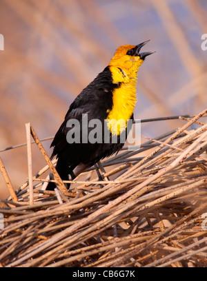 A Yellow-headed Blackbird (Xanthocephalus xanthocephalus) singing Alberta, Canada - Stock Photo