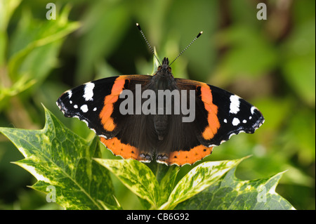 Red admiral (Vanessa atalanta) butterfly on a variegated holly leaf - Stock Photo